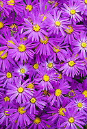 Asters photographed in a Welsh garden in October