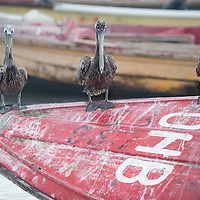 Three prelicans on a boat in Old Harbour Bay