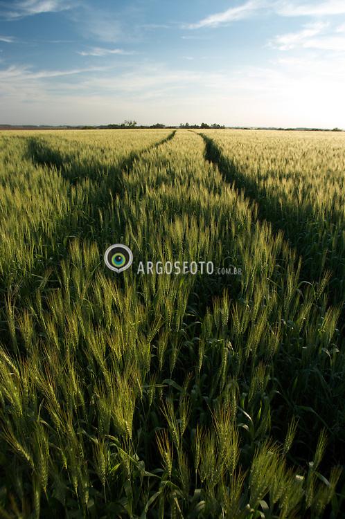 Espigas de trigo em Sao Borja, Rio Grande do Sul, Brasil./..Wheat crops. Sao Borja, Rio Grande do Sul, Brazil
