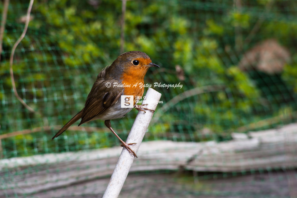 A robin perches on a garden stake in a classic pose.