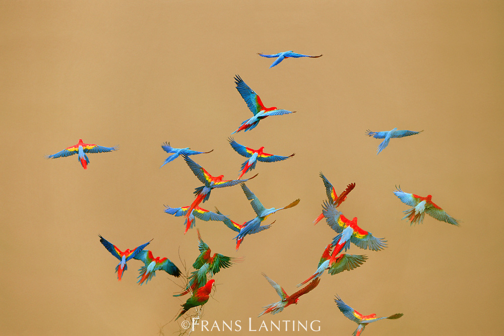 Macaws over river, Ara chloroptera, Ara macao, Ara ararauna, Tambopata National Reserve, Peru