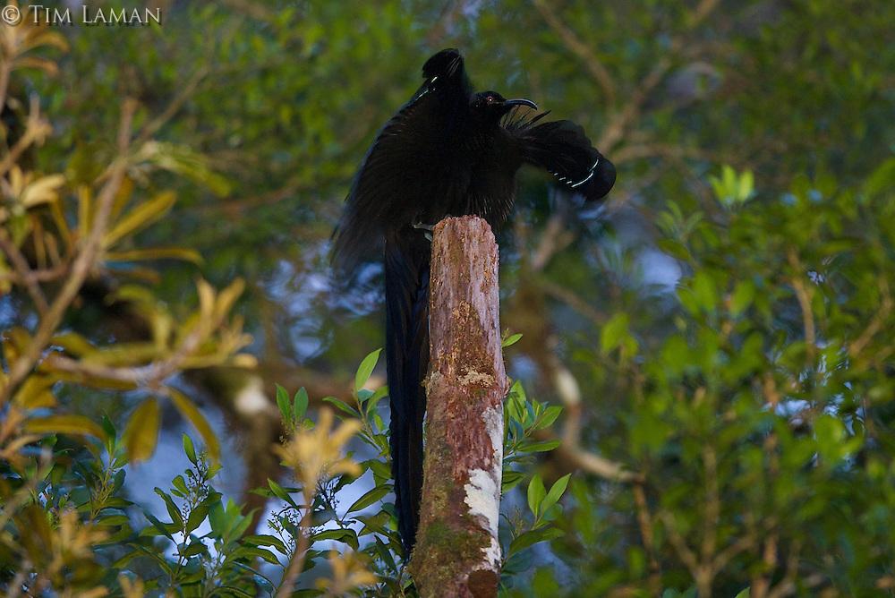 Black Sicklebill Bird of Paradise (Epimachus fastuosus) male at his display perch.