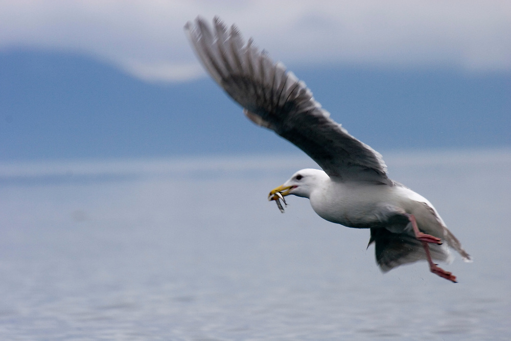 a glaucous-winged gull (Larus glaucescens) flies off with a small fish in its mouth
