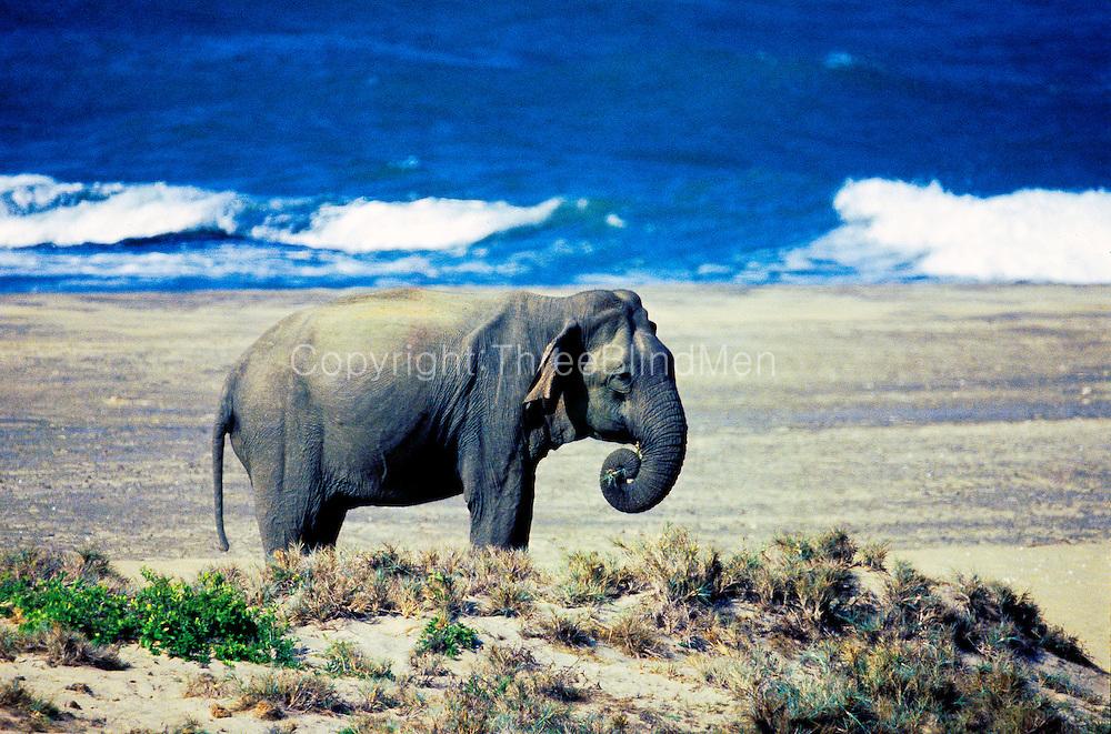 Elephant on beach at Yala.