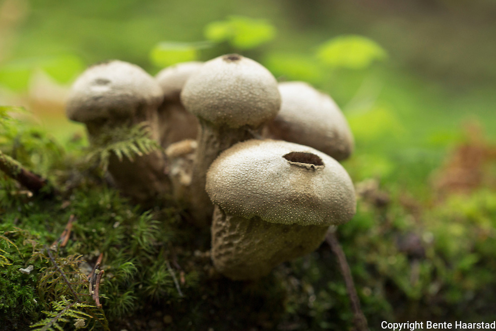 "Vorterøyksopp, Lycoperdon perlatum, har et tykt, hvitt ytre skall med kjegleformede vorter, og et tynnere indre skall som omgir sporemassen. Ferdig utvokste eksemplarer har pæreform. Lycoperdon perlatum, popularly known as the common puffball, warted puffball, gem-studded puffball, or the devil's snuff-box, is a species of puffball fungus in the family Agaricaceae. A widespread species with a cosmopolitan distribution, it is a medium-sized puffball with a round fruit body tapering to a wide stalk, and dimensions of 1.5 to 6 cm (0.6 to 2.4 in) wide by 3 to 7 cm (1.2 to 2.8 in) tall. It is off-white with a top covered in short spiny bumps or ""jewels"", which are easily rubbed off to leave a netlike pattern on the surface. When mature it becomes brown, and a hole in the top opens to release spores in a burst when the body is compressed by touch or falling raindrops. The puffball grows in fields, gardens, and along roadsides, as well as in grassy clearings in woods. It is edible when young and the internal flesh is completely white, although care must be taken to avoid confusion with immature fruit bodies of poisonous Amanita species. L. perlatum can usually be distinguished from other similar puffballs by differences in surface texture. Several chemical compounds have been isolated and identified from the fruit bodies of L. perlatum, including sterol derivatives, volatile compounds that give the puffball its flavor and odor, and the unusual amino acid lycoperdic acid. Laboratory tests indicate that extracts of the puffball have antimicrobial and antifungal activities. Lycoperdon perlatum is considered to be a good edible mushroom when young, when the gleba is still homogeneous and white. They have been referred to as ""poor man's sweetbread"" due to their texture and flavor. The fruit bodies can be eaten after slicing and frying in batter or egg and breadcrumbs,[12] or used in soups as a substitute for dumplings."