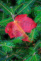 Fallen red maple leaf and green pine boughs.