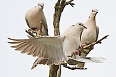 Barbary Dove Pictures - Photos