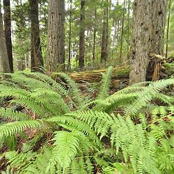 Second-Growth Forest, Central Cascades, Washington, US