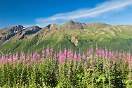 Closeup of Common Fireweed (Epilobium angustifolium) with Hurdygurdy Mountain in background in Chugach State Park near Eagle River in Southcentral Alaska. Summer. Morning.