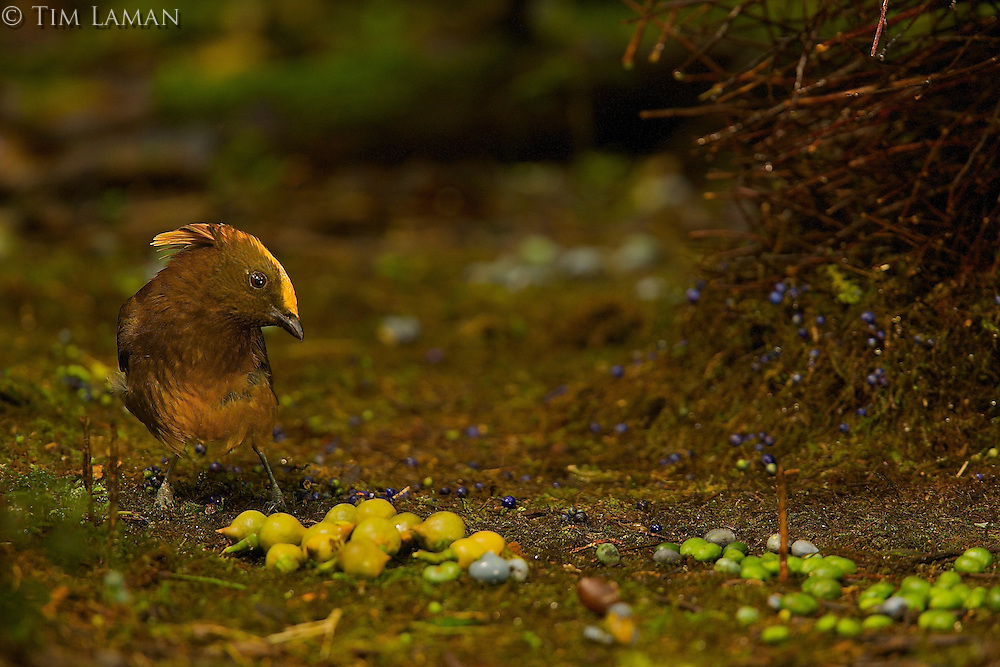 Golden-fronted Bowerbird (Amblyornis flavifrons) male at his bower.
