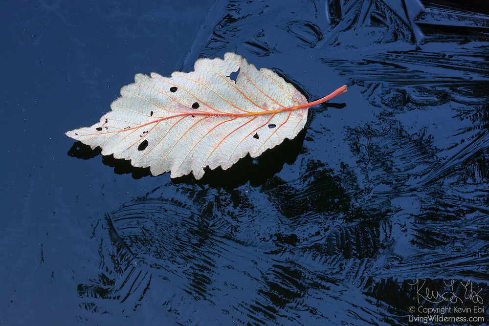 A fallen alder leaf floats on thin layer of ice covering a pond in Snohomish County, Washington.