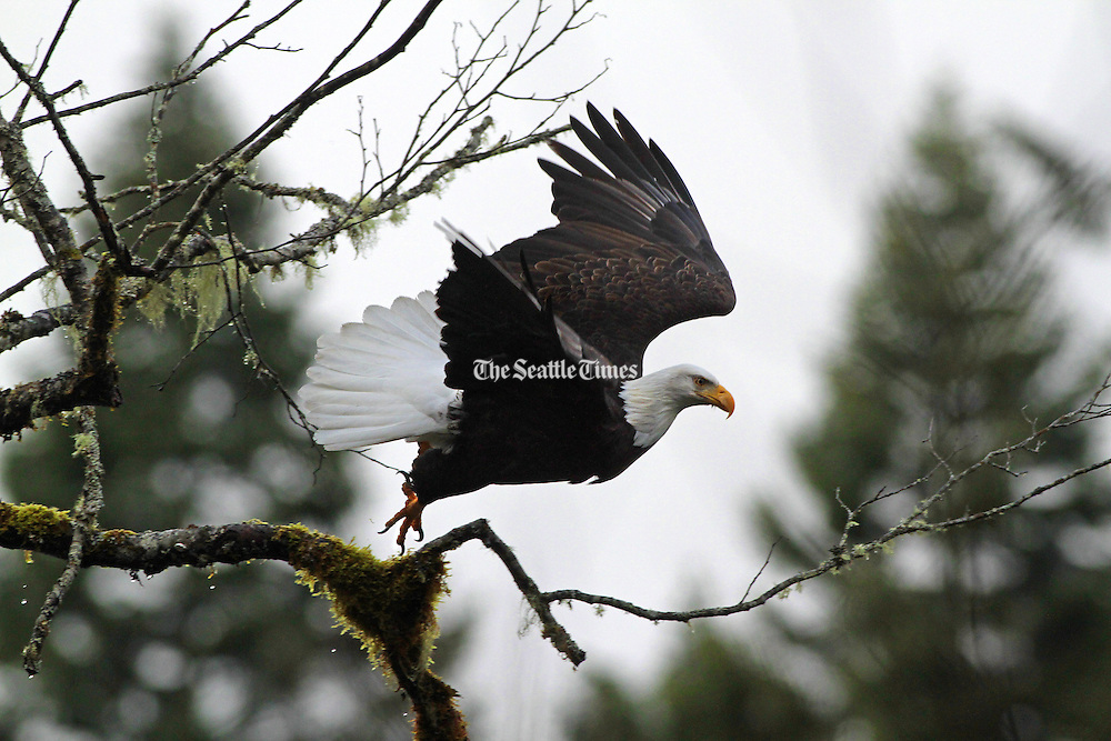A mature bald eagle leaves it's mossy perch above the Skagit River near Marblemount. <br /> <br /> Mark Harrison / The Seattle Times