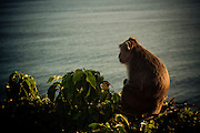A monkey sits on a cliff overlooking the Indian Ocean near Uluwatu Temple, Bali, Indonesia.