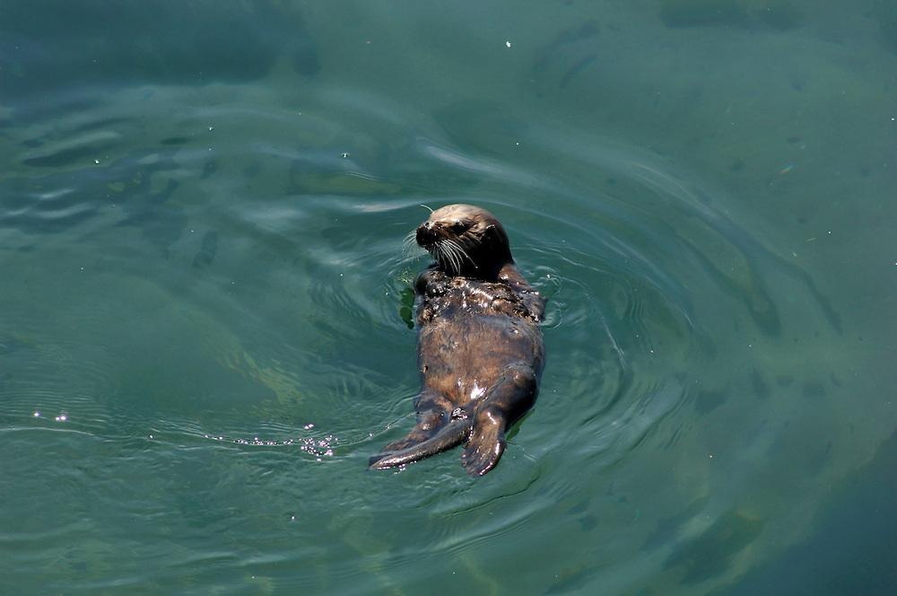 Sea Otter (Enhydra lutris), Monterey Bay, Monterey, California, United States of America