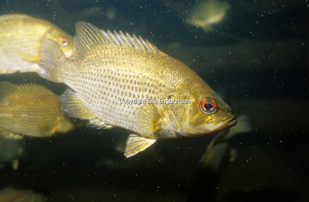 Rock bass engbretson underwater photography for Rock bass fish