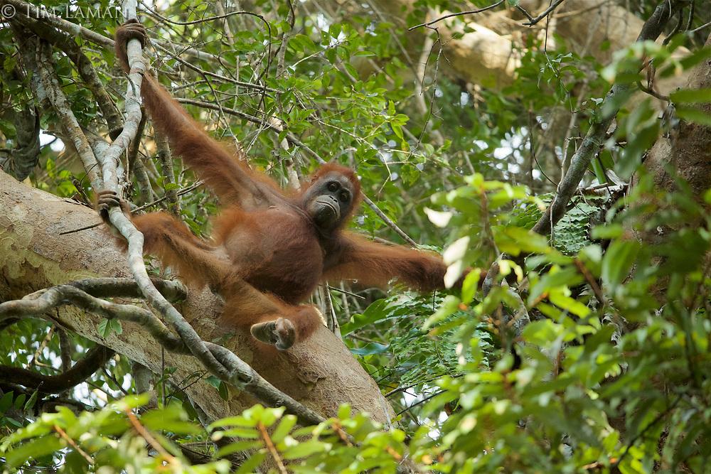 Bornean Orangutan <br />Wurmbii Sub-species<br />(Pongo pygmaeus wurmbii)<br /><br />Adult female Walimah with severely injured foot<br /><br />Gunung Palung Orangutan Project<br />Cabang Panti Research Station<br />Gunung Palung National Park<br />West Kalimantan Province<br />Island of Borneo<br />Indonesia