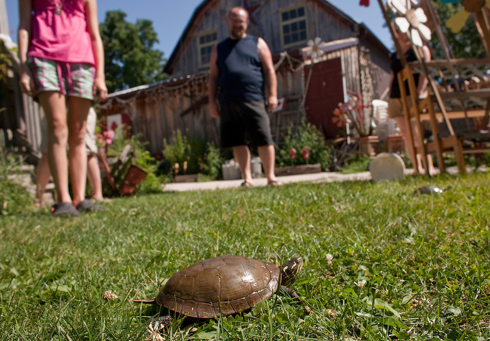 Ailsa Craig, Ontario ---10-07-10---  One of the Wahl family's collection of turtles walks on their lawn as they prepare it for Ailsa Craig Ontario's Turtle races which take place July 17, 18 in the small Southern Ontario town North of London.<br /> GEOFF ROBINS Toronto Star