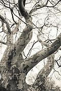 Sycamore Tree found in Montauk, NY