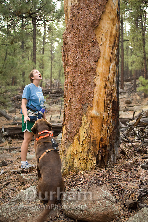 CJ, a chocolate lab working as a trained wildlife detector dog, sits to indicate he has located a bat roosting site to his handler, wildlife technician Elisabeth Mering, in an old ponderosa snag. Coconino National Forest, Arizona.