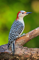 I photographed this flicker at the bird feeding station in the backyard.