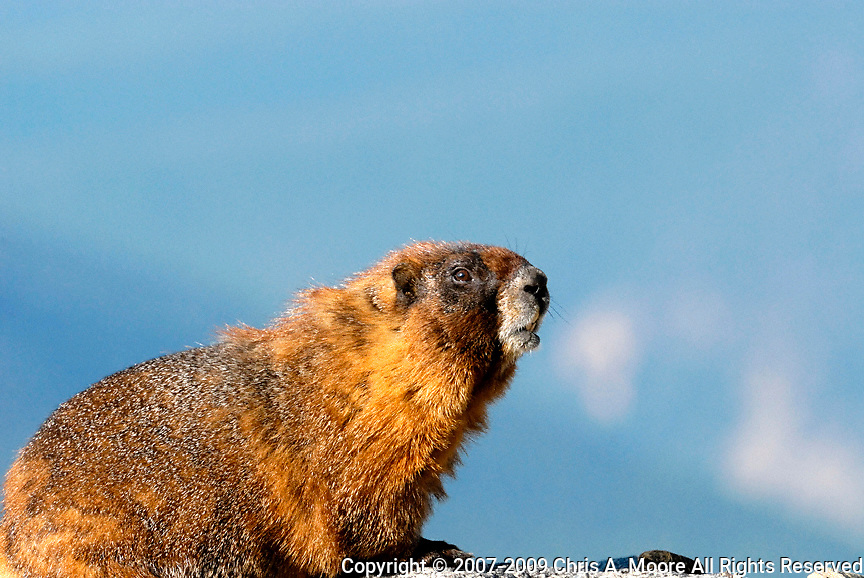 Male Yellow-Bellied Marmot resting at Mt Evans, Colorado.