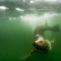 USA, Alaska, Underwater view of Steller's Sea Lion (Eumetopias jubatus) swimming in murky water in Frederick Sound on summer evening