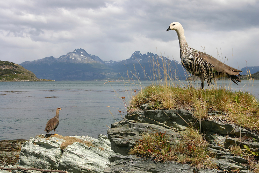 Argentina, Tierra del Fuego National Park, Two Upland Geese (Cloephaga picta) standing along shoreline in summer sunshine near town of Ushuaia