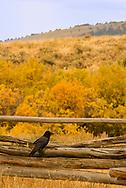 Common raven, (Corvus corax), Three Dollar Bridge area, south of Ennis, Montana
