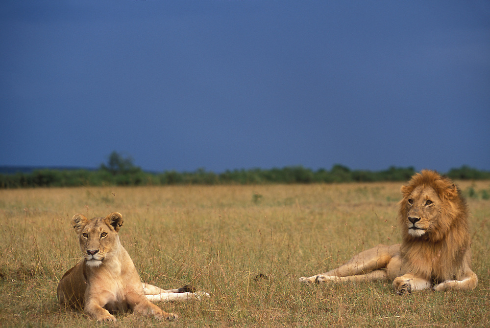Kenya, Masai Mara Game Reserve, Lion and Lioness (Panthera leo) in tall grass on savanna at dusk as storm approaches