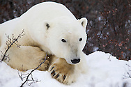 Portrait of a polar bear (Ursus maritimus) in the snow, resting with head on paws, Seal River, Manitoba, Canada