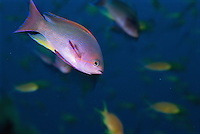 A colorful anthias fish swims about a reef with other fish.