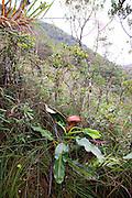 Nepenthes Rajah, carnivorous Pitcher Plant, Mesilau Nature Resort, Kinabalu National Park, Sabah