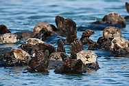 A group of California Sea Otters (Enhydra lutris)) float in a raft in the calm waters of Elkhorn Slough National Estuarine Research Reserve, California