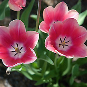Tulips are a perennial plant in the genus Tulipa with showy flowers, in the family Liliaceae