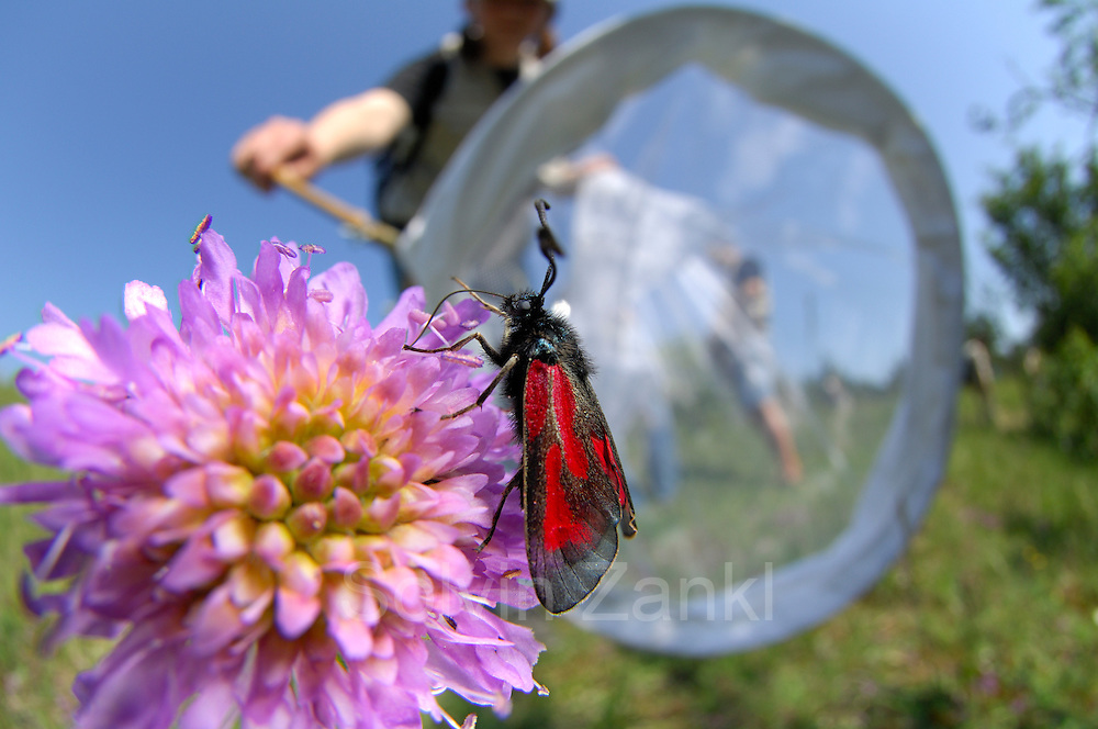 The Slender Burnet (Zygaena loti), a European moth on a field in Crawinkel | Jana Löbner aus dem BIO LK von Friedrich Körner (Experte für Hummeln und Schmarotzerhummeln) fängt zur Bestimmung ein Beilfleck-Rotwidderchen oder Beifleck-Blutströpfchen (Zygaena loti) auf Acker-Witwenblume (Knautia arvensis)