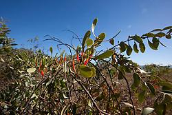 Native mistletoe growing near James Price Point