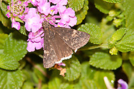 Funeral Duskywing (Erynnis funeralis)<br /> TEXAS: Victoria Co.<br /> Airport Gardens; Victoria<br /> 15.Nov.2009<br /> J.C. Abbott