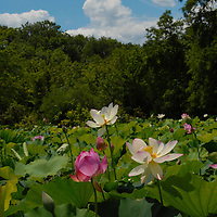 Lotus blossoms peak above their leaves toward the blue sky in Washington, DC's Aquatic Gardens.