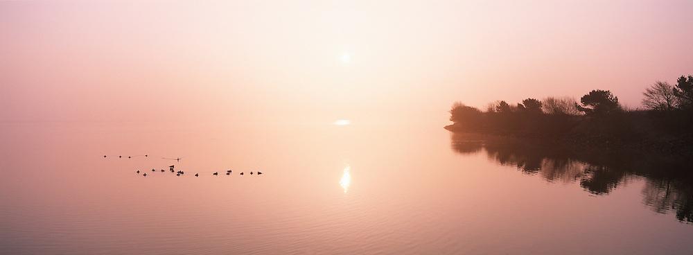 Eiders on misty lagoon at dawn