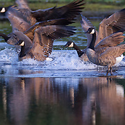 A flock of Canada geese (Branta canadensis) lands on the water of the Edmonds Marsh, Edmonds, Washington.