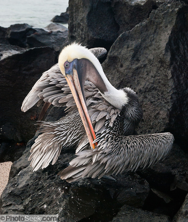 """A Galapagos Brown Pelican (Pelecanus occidentalis, subspecies: urinator) preens feathers at Suaraz Point, a wet landing location on Española (Hood) Island, Galapagos Islands, Ecuador, South America. The Brown Pelican species lives strictly on coasts from Washington and Virginia south to northern Chile and the mouth of the Amazon River. Some immature birds may stray to inland freshwater lakes. Although large for a bird, the Brown Pelican is the smallest of the eight species of pelican. Adults are 106-137 cm (42-54 inches) in length, weigh from 2.75 to 5.5 kg (6-12 pounds), and have a wingspan from 1.83 to 2.5 m (6 to 8.2 feet). After nesting, North American birds move in flocks further north along the coasts, returning to warmer waters for winter. Their young are hatched in broods of about 3, and eat around 150 pounds of fish in the 8-10 month period they are cared for. The Brown Pelican bird differs from the American White Pelican by its brown body and its habit of diving for fish from the air, as opposed to cooperative fishing from the surface. It eats mainly herring-like fish. The nest location varies from a simple scrape on the ground on an island to a bulky stick nest in a low tree. Pelicans can live more than 30 years. Published in """"Light Travel: Photography on the Go"""" book by Tom Dempsey 2009, 2010."""
