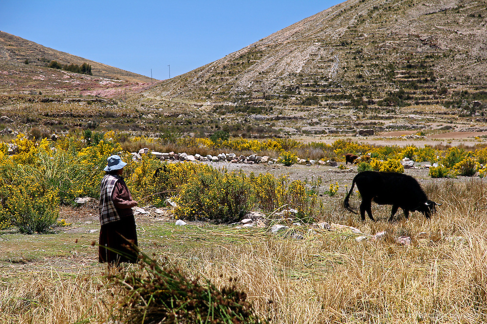South America, Bolivia, Kala Uta Island. Aymara woman and cow on Kala Uta Island of Lake Titicaca.