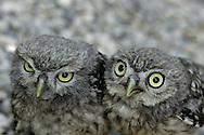 Little owl  ( Athena noctua ) Aragon Spain Europe.