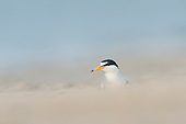 Terns & Skimmers