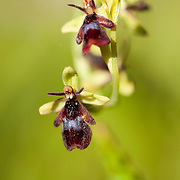 Ophrys insectifera - Fly orchid - Flueblomst