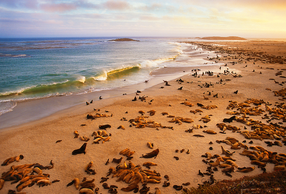 350606-1015F ~ Copyright:  George H. H. Huey ~ Northern fur seals and California sea lions share the beach at Point Bennet in summer.  San Miguel Island.  Channel Islands National Park, California.