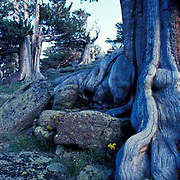 Colorado, Mount Evans, Mt. Goliath Natural Area