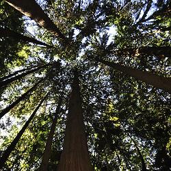 Western Red Cedar(Thuja plicata) in Second-Growth Forest, Central Cascades, Washington, US