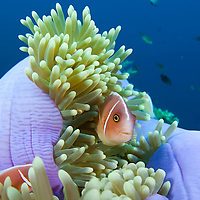 A Pink Anemonefish, Amphiprion perideraion, in a purple anemone, Tulamben, Bali, Indonesia.