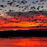 A large flock of snow geese (Chen caerulescens) lifts off from a pond in the Bosque del Apache National Wildlife Refuge in New Mexico during a fiery sunrise.